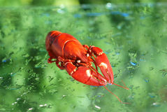 Boiled lobster. Royalty Free Stock Photo