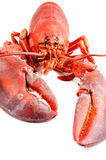 Boiled lobster isolated front view Stock Image