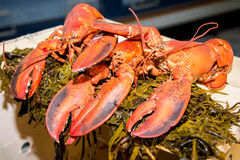Boiled New England Lobster. Three red lobsters on a bed of seaweed Royalty Free Stock Photos