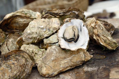 Boiled oysters with natural light Royalty Free Stock Image