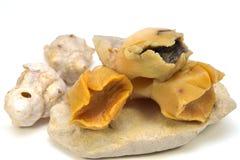 Boiled Rapana Veined rapa whelk Meat. Isolated on white background Stock Photo