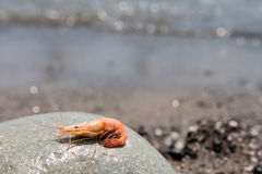 Boiled shrimp on pebble by the sea Royalty Free Stock Image