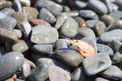 Boiled shrimp on pebble by the sea Stock Photography