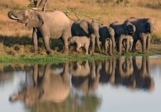 Boire africain et veau d'éléphants au point d'eau Photos stock