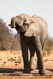Boire d'éléphant photo libre de droits