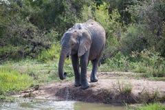 Boire d'éléphant de bébé image libre de droits