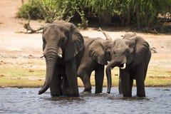 Boire d'éléphants Images stock