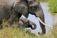 Boire d'éléphants Images libres de droits