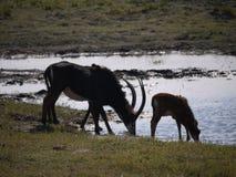 Boire d'antilope et de veau de sable Photo stock