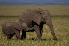 Boire de bébé d'éléphant Photo stock
