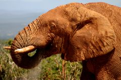 Boire de Bull d'éléphant Image libre de droits
