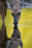 Boire de cerfs communs Images stock
