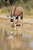 Boire de Gemsbok (gazella d'Oryx) Photographie stock libre de droits