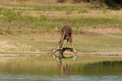 Boire de giraffe Image libre de droits