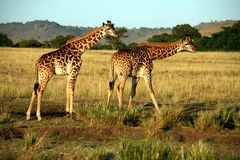 Boire de giraffe (le Kenya) Images stock