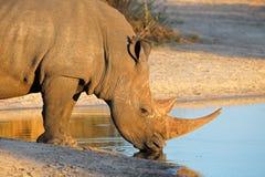 Boire de rhinocéros blanc Photographie stock libre de droits