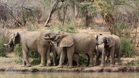 Boire de troupeau d'éléphant Image libre de droits