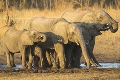Boire de troupeau d'éléphant africain Image stock