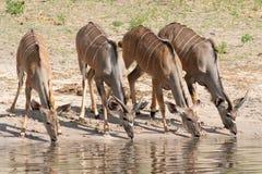 Boire femelle de kudu Photo libre de droits