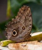 Boire géant de papillon de hibou de forêt Image libre de droits