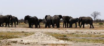 Boire haut étroit d'éléphants africains Images libres de droits