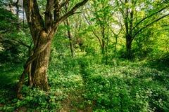 Bois à feuilles caduques d'arbre forestier d'été Photos stock