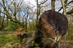 Bois anglais. Photographie stock