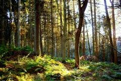 Bois d'écossais de Mystycal Photographie stock
