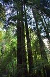 bois d'arbres grands de san de séquoia de muir de Francisco Image stock