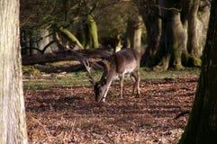 Bois d'automne de mâle de cerfs communs affrichés Image stock