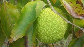 Bois d łuku drzewo z owoc Zdjęcia Stock