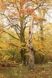 Bois de Bencroft en automne dans Hertfordshire, R-U Image libre de droits