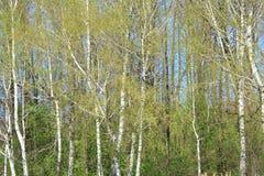 Bois de bouleau Photo stock