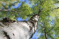 Bois de bouleau Photographie stock libre de droits