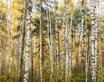 Bois de bouleau d'automne Photos stock