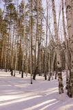 Bois de bouleau d'hiver photo stock