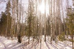 Bois de bouleau d'hiver Photos stock