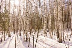 Bois de bouleau d'hiver image stock
