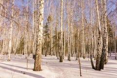 Bois de bouleau d'hiver image libre de droits