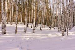 Bois de bouleau d'hiver Photographie stock libre de droits