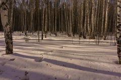 Bois de bouleau d'hiver Photos libres de droits