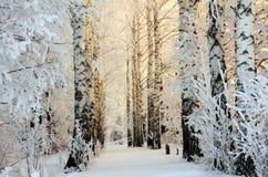 Bois de bouleau de l'hiver en lumière de matin Photographie stock libre de droits