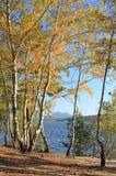 Bois de bouleau sur le côté du lac Image stock