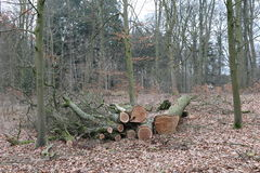 Bois de chêne scié de tronc d'arbre Image stock