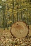 Bois de construction-roi Image libre de droits