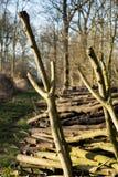 Bois de Coppiced empilé dans le tas de bois Photos stock