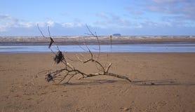 Bois de flottage et algue sur une plage Photo stock