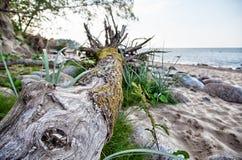 Bois de flottage inextricable sur la plage photographie stock libre de droits