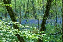 Bois de jacinthe des bois Image libre de droits