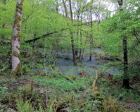 Bois 1 de jacinthe des bois Image stock